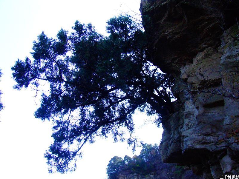 岩石上长出青翠的白皮松