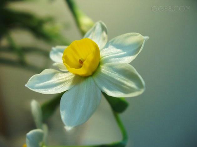 水仙花的气味很香,我觉得那是一种淡淡的茶香.我喜欢这种味