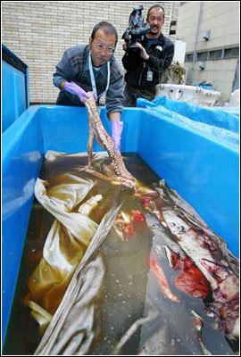 科学家成功拍摄到活体巨型鱿鱼照片