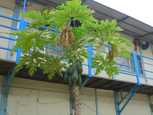 木瓜盆栽种植方法