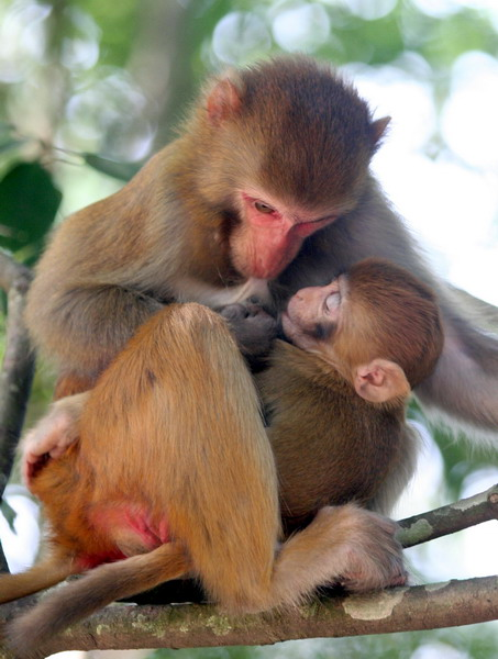 永春牛姆林景区内,一只母猴给小猴喂奶前先自己吸着奶水,吸图片