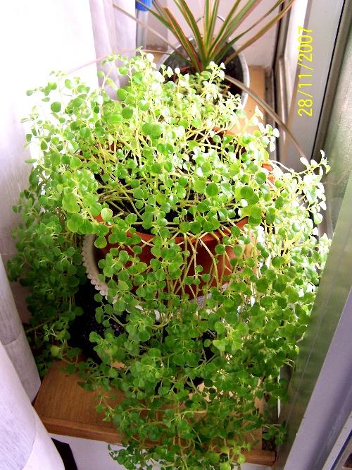 植物-山苏花 玲珑冷水花