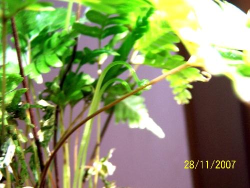 变叶木 白纹草