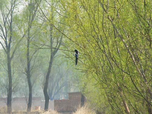 可爱小喜鹊掉下树