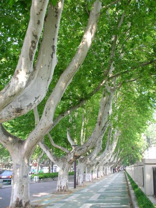 在城市里,街道马路一般都不是光秃秃孤单单地延伸向前,总有行道树