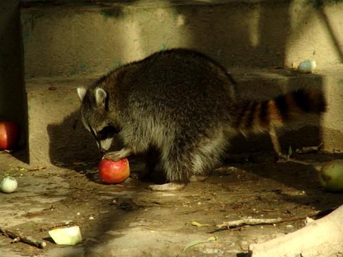 憨态可掬的小浣熊(可爱的动物56)