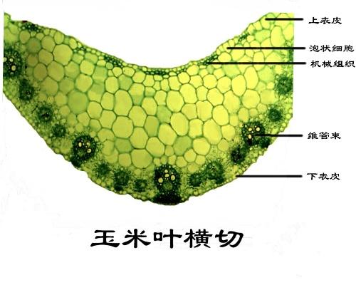 玉米叶的横切-一叶扁舟-搜狐博客
