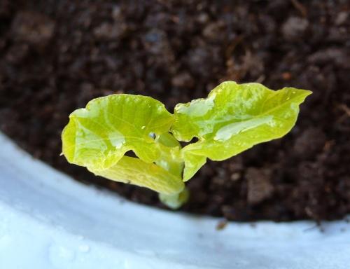 蚕豆生长过程图解