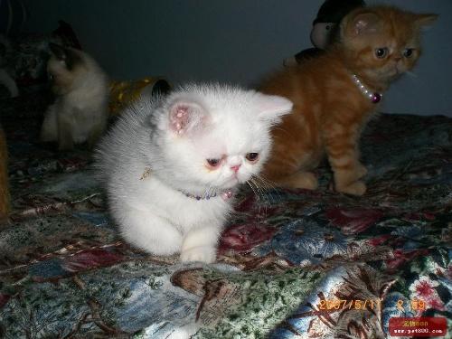 超级可爱的加菲小白猫