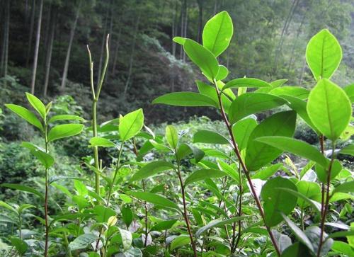 通常茶树在每年的秋天开花,从花芽形成到种子成熟需要经过18个月