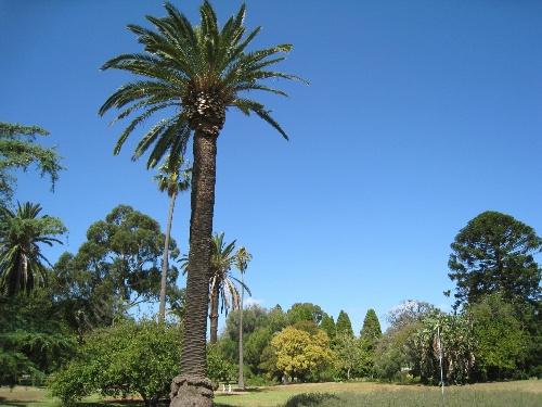 我管城市里的这个叫椰子树