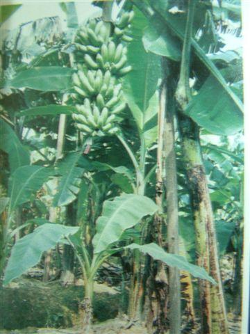 香蕉树上一串熟透发黄