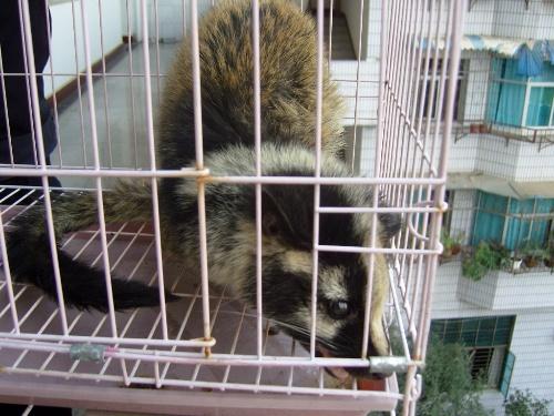一种野生保护动物,在动物分类学上属于哺乳纲,食肉目,灵猫科,果子狸属