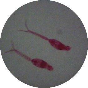 日本血吸虫图片手绘图