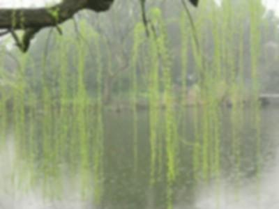 古风柳树背景图