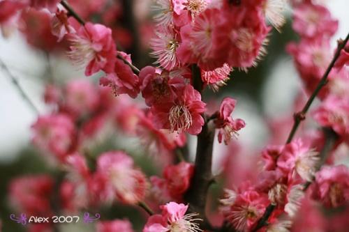 暖色带梅花背景素材