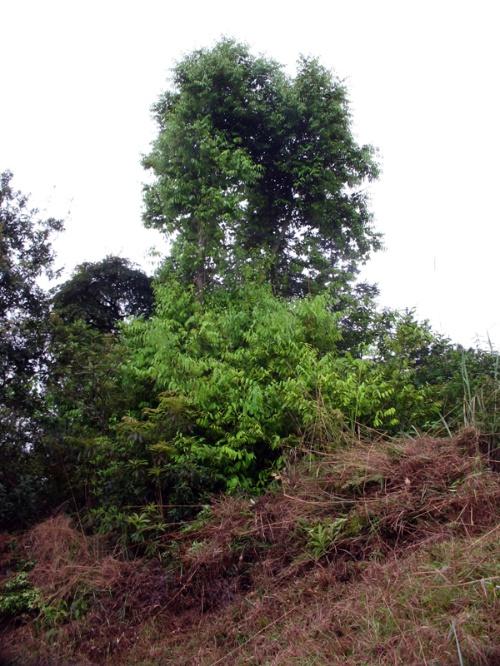 长不高的风景树