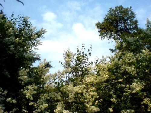 里面有很多的甘草树,功效.映衬着桑叶好美,真的白云!罗汉果松柏丁香泡水的蓝天图片