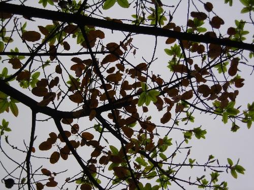 四季常绿的落叶乔木——黄葛树(7p)