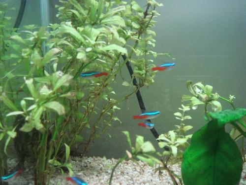 观察日记-红绿灯鱼