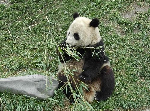 这个可爱的小家伙在与进京的其他七只大熊猫合园后