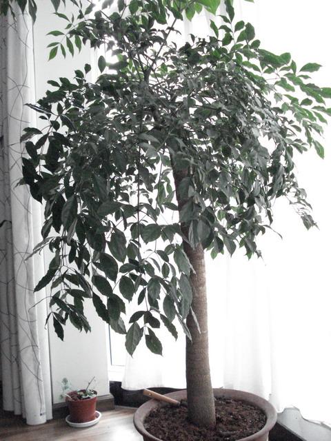 在精心护理下,三棵小幸福树茁壮成长,一段时间后那个花盆就不适应它们