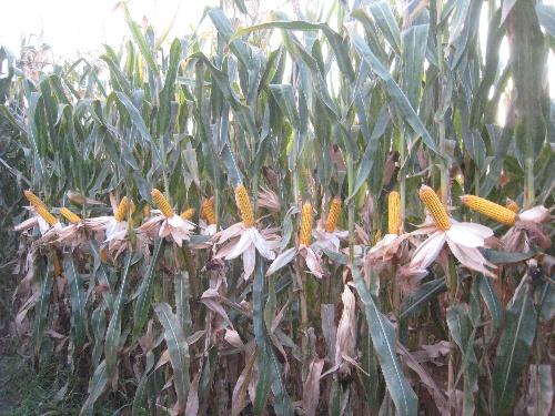 新疆玉米比重机