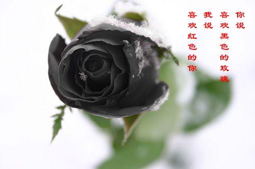 黑玫瑰花-黑玫瑰图片
