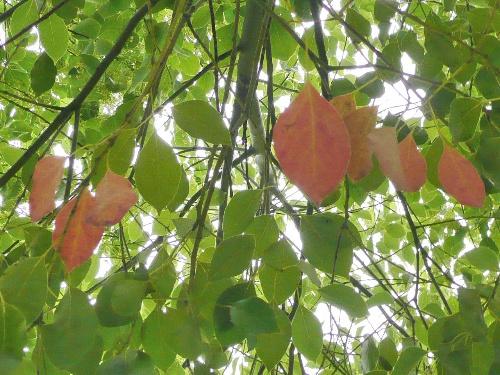 香樟树叶子的资料_从绿到红:时间在香樟树上刻下的记忆断片 -植物记-搜狐博客